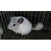 CHINCHILLA BLANCA MOZAICO