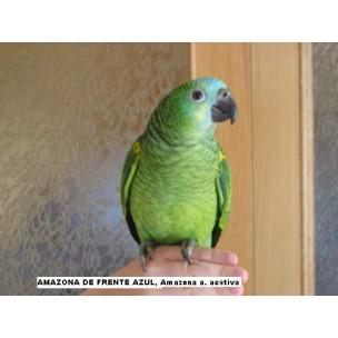 AMAZONA FRENTE AZUL